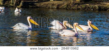 Family of rosy pelicans floating together in the water hunting for food, Birds from Eurasia poster