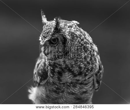 A Closeup View Of A Male Spotted Eagle Owl Perched On A Tree Stump , Natal Midlands, South Africa.