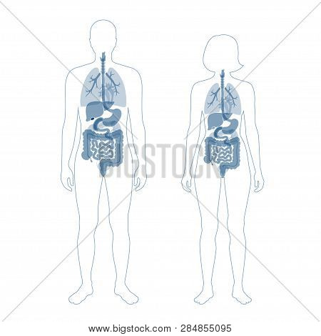 Vector Isolated Illustration Of Human Internal Organs In Body. Stomach, Liver, Intestine, Bladder, L
