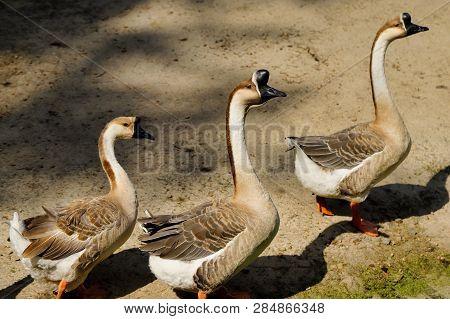 View Of Domesticated Chinese Gooses Family On The Farm. Photography Of Nature And Wildlife.