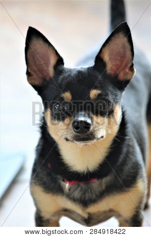 A Beautiful, Tri Colored Chihuahua Gazes Directly Into The Camera With A Serious, Yet Playful Expres