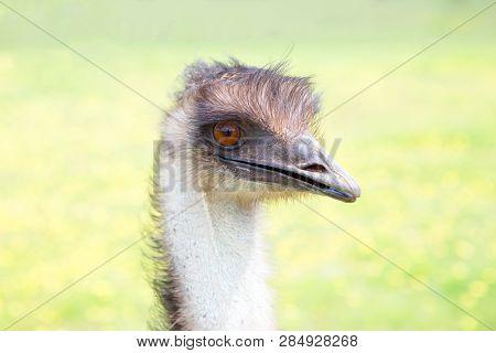 Australian Emu A Flightless Bird And Largest Bird In Australia.  Dromaius Novaehollandiae