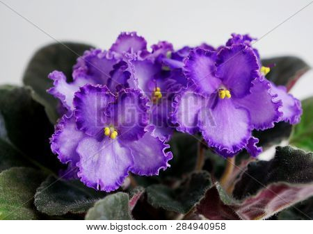 Beautiful Flower Saintpaulia (african Violet ) Close Up