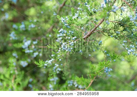 Juniper Branch With Berries. Thuja Evergreen Coniferous Tree Close Up