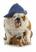 dog father and son - english bulldog father with four week old son  wearing hats sitting on white background poster