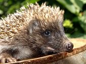 Young European hedgehog on a rusty metal catwalk on the background of green foliage poster