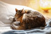 Tabby cat sleeping happily on the bed with white blanket. Young tricolor kitty cat sleeping blissfully on sofa, blurred lamp on background. Cosiness, cozy comfort, calm, pet concept. poster