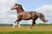 bay welsh mountain pony in field galloping poster