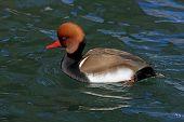 Male Duck (netta rufina) swimming in a lake poster