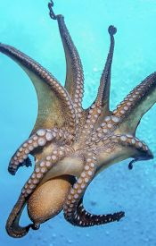 Octopus Is A Soft-bodied, Eight-limbed Mollusc Of The Order Octopoda.