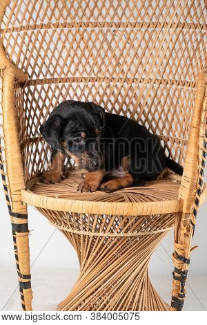 A Portrait Of A Cute Jack Russel Terrier Puppy Sitting On A Rattan Chair, Isolated On A White Backgr