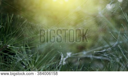 Cobweb Woven By A Spider In The Spruce Branches. The Spruce Branches Are Entangled In A Spider's Web
