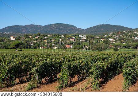 Rows Of Ripe Wine Grapes Plants On Vineyards In Cotes  De Provence Near Saint-tropez, Region Provenc