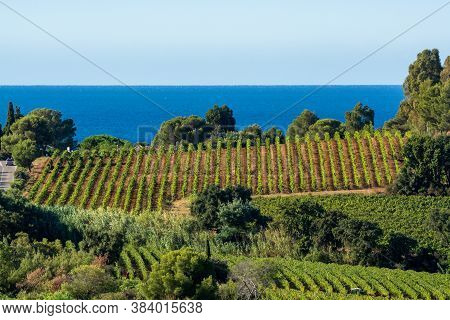 Rows Of Ripe Wine Grapes Plants On Vineyards In Cotes  De Provence With Blue Sea Near Saint-tropez,