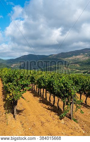 Rows Of Ripe Wine Grapes Plants On Vineyards In Cotes  De Provence Near Collobrieres , Region Proven