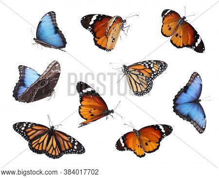 Amazing Plain Tiger, Common Morpho And Monarch Butterflies Flying On White Background