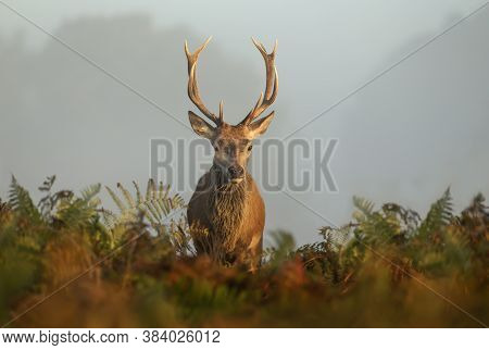 Close-up Of A Red Deer Stag Standing In The Field Of Ferns During Rutting Season On A Misty Autumn M