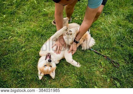 Owner Play With Cute Akita Inu Dog At The Park.