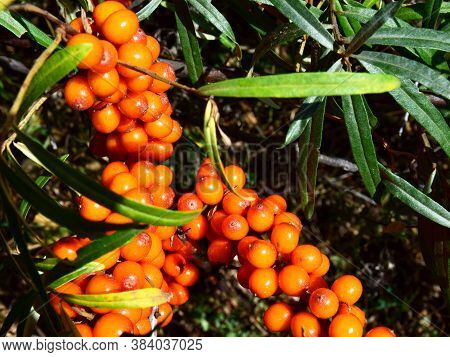 Autumn Gifts-orange Sea Buckthorn Berries On Tree Branches Close-up. The Concept Of Proper Nutrition