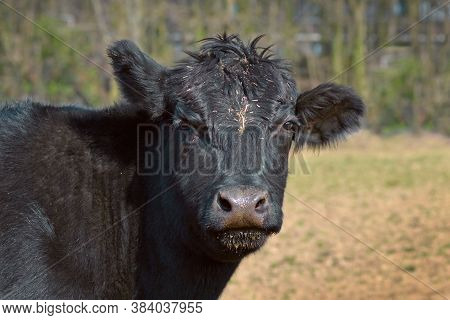 Close Up Of A Black Aberdeen Angus Cattle Animal Head