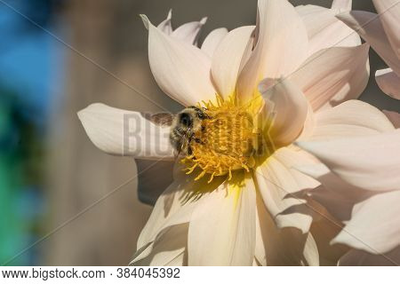 Photo Wild Bee Collects Nectar And Pollinates The Flower. The Honey Bee Collects Pollen On The Flowe