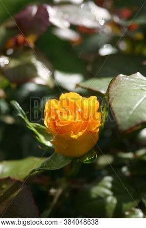 Yellow Rose Flower 'inka' Bud In The First Rays Of The Sun