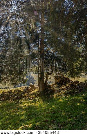 Fir Trees On An Alpine Meadow With Sunbeams