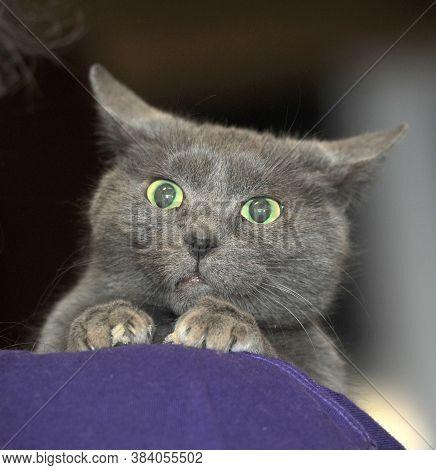 Sad Gray Cat In Hands