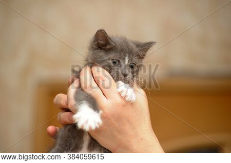 Kitten On Hands At Home