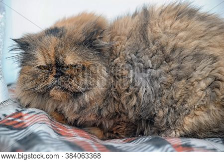 Beautiful Red-haired With A Black Tortie-persian Cat