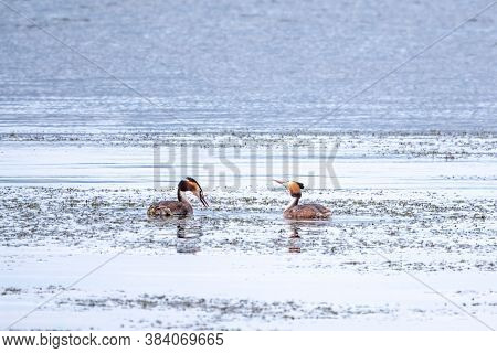 Two Waterfowl Birds Great Crested Grebes Swim In The Lake. The Great Crested Grebe, Podiceps Cristat