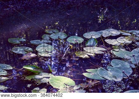 Yellow Lotus Flower Or Water Lily. Lotus Leaves And Lotus Bud In A Pond. Lotus Season In Losiny Ostr