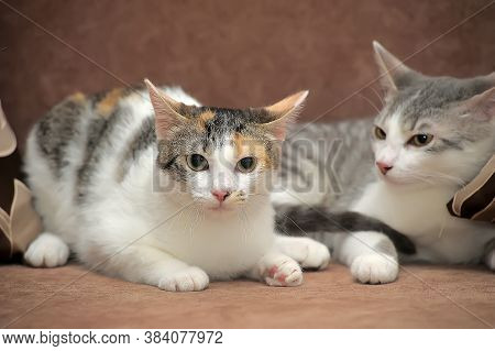 Two European Shorthair Cats Together Close Up