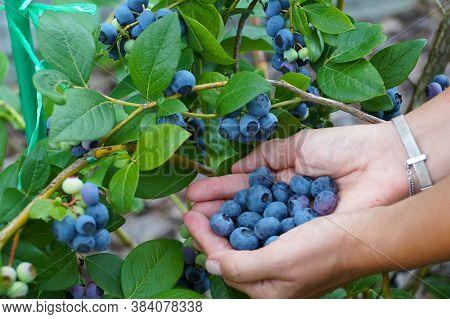 Fruit Harvest Time. Hands Full Of Huge Blueberry Fruits.