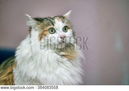 Beautiful Fluffy Fat Tricolor Cat