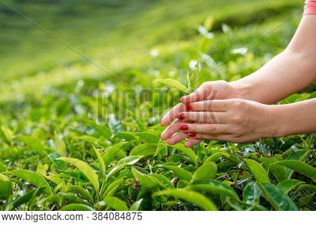Close-up, The Girl Gently Collects The Top Leaves Of Tea From Green Bushes High In The Mountains. Te