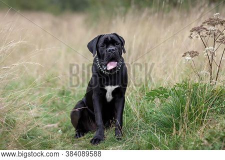 Portrait Of Sitting Black Big Dog At Nature. Cane Corse Breed Puppy Outdoors.