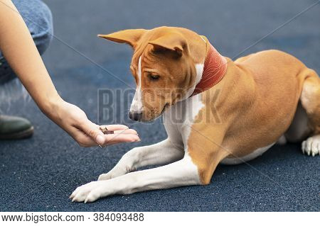 Unrecognizable Person, Hand Of Owner Is Feeding Beautiful Smart Hungry Dog. Training Of Basenji Dog.