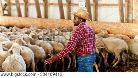 Rear On African American Man In Hat And Red Motley Shirt Walking In Barn And Leading Sheep Stock. Ma