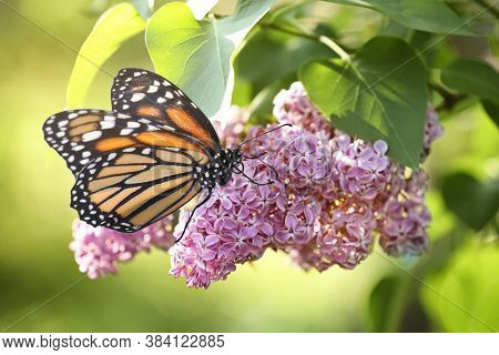 Amazing Monarch Butterfly On Lilac Flowers In Garden, Closeup
