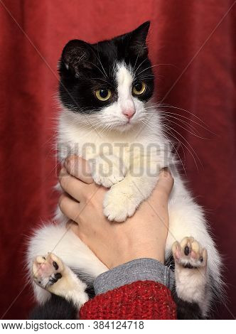 Cute Black And White Cat In Her Arms On A Red Background