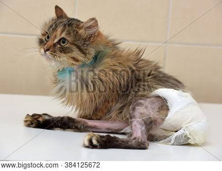 Sick Cat Who Suffered An Injury Of The Spine, Causing His Paralysis Of One Limb In Diapers
