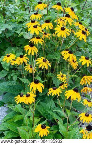 A Flowerbed In Summer Garden With Rudbeckia Hirta Or Black-eyed Susans