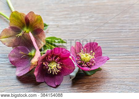 Background With Purple Helleborus Orientalis Or Christmas Rose On A Wooden Background