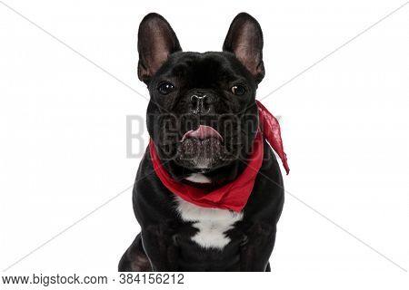 Clumsy French Bulldog puppy wearing bandana and panting on white studio background