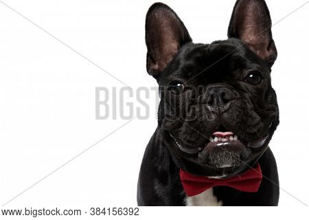 Lovely French Bulldog puppy wearing bowtie, smiling and panting on white studio background