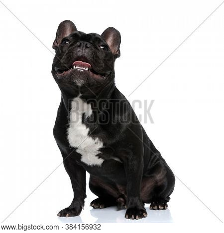 Dutiful French Bulldog puppy being happy and panting, sitting on white studio background