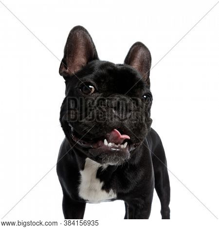 Playful French Bulldog puppy being happy and panting, standing on white studio background