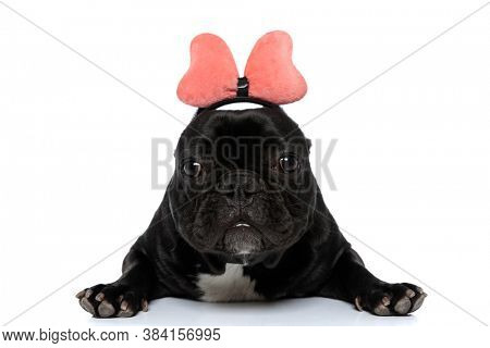 Funny French Bulldog puppy wearing headband with bowtie, laying down on white studio background