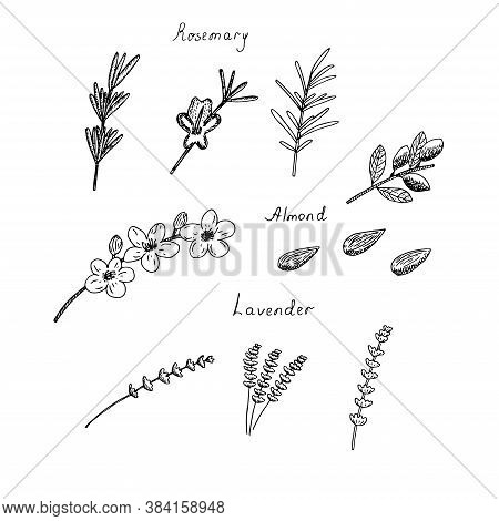 Set Of Cliparts Rosemary Lavender And Almond Twigs Flowers And Nuts Vector Illustration Hand Drawing